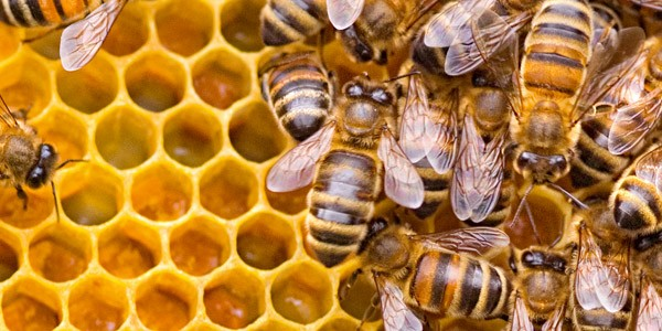 Bees making honey in a hive