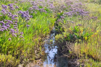 north-norfolk-sea-lavender