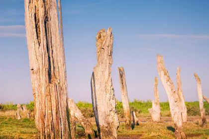 thornham-tree-stumps