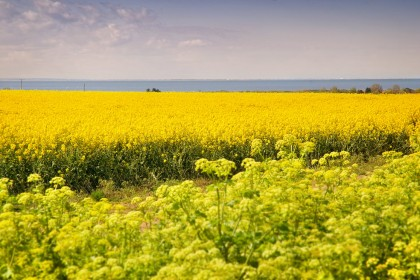 norfolk-rapeseed