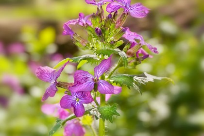 peddars-way-flower