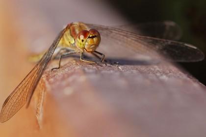 thompson-pingos-dragonfly
